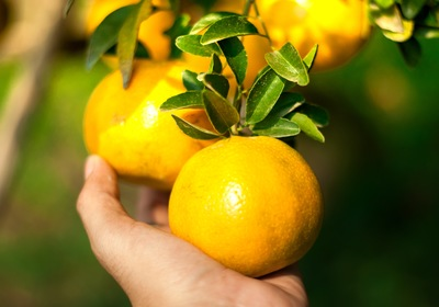 Making the Most of Central Florida's Summer Citrus